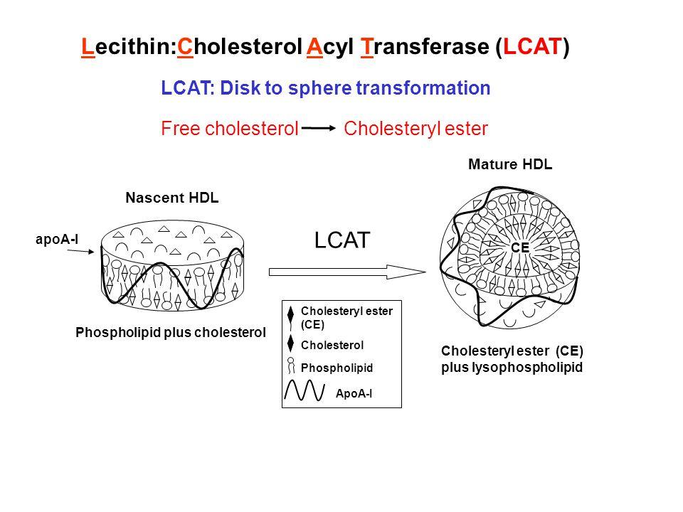 LCAT Phospholipid plus cholesterol Nascent HDL LCAT: Disk to sphere transformation Mature HDL Cholesteryl ester (CE) plus lysophospholipid apoA-I CE C