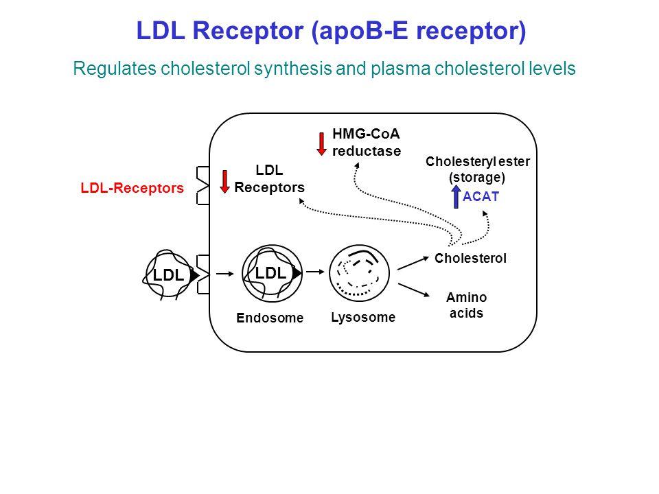 LDL-Receptors Endosome Lysosome Amino acids Cholesterol LDL Cholesteryl ester (storage) LDL Receptors HMG-CoA reductase LDL LDL Receptor (apoB-E recep