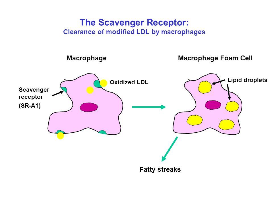 The Scavenger Receptor: Clearance of modified LDL by macrophages Oxidized LDL Scavenger receptor MacrophageMacrophage Foam Cell Fatty streaks Lipid dr