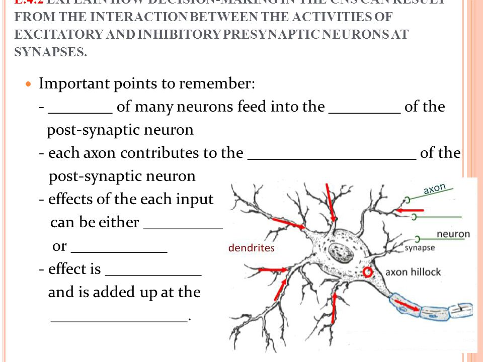 Important points to remember: - ________ of many neurons feed into the _________ of the post-synaptic neuron - each axon contributes to the __________