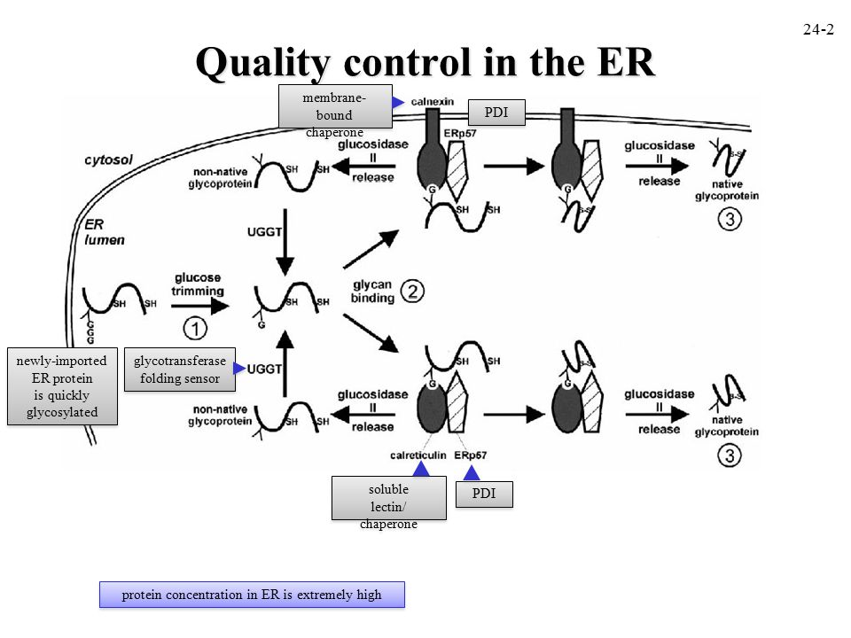 Quality control in the ER 24-2 newly-imported ER protein is quickly glycosylated newly-imported ER protein is quickly glycosylated soluble lectin/ chaperone soluble lectin/ chaperone PDI glycotransferase folding sensor PDI protein concentration in ER is extremely high membrane- bound chaperone