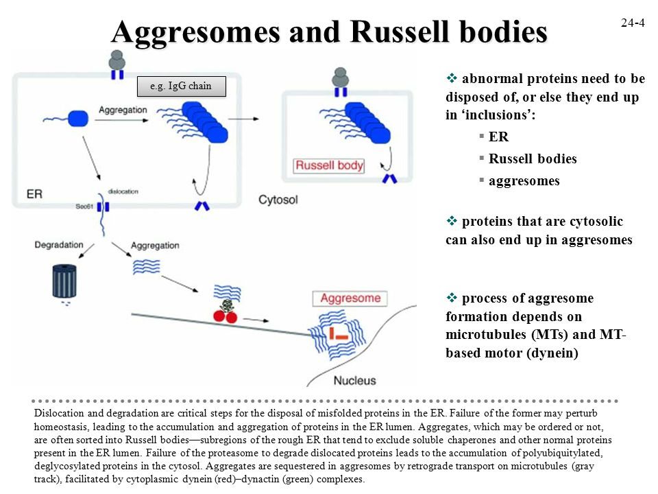  abnormal proteins need to be disposed of, or else they end up in 'inclusions':  ER  Russell bodies  aggresomes Dislocation and degradation are critical steps for the disposal of misfolded proteins in the ER.