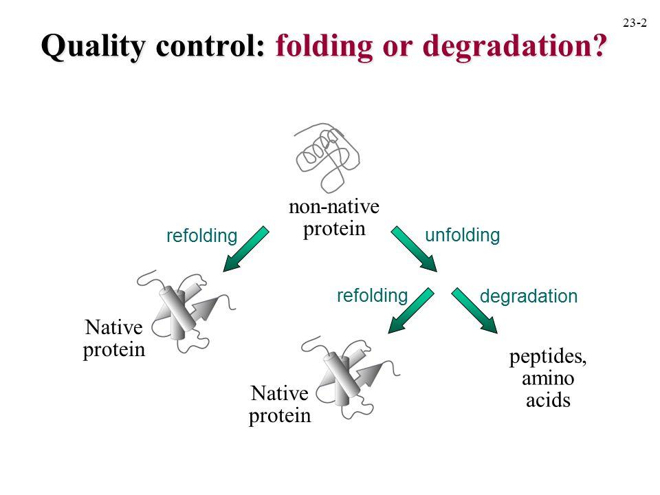 refolding non-native protein unfolding degradation refolding Native protein Native protein peptides, amino acids Quality control: folding or degradati