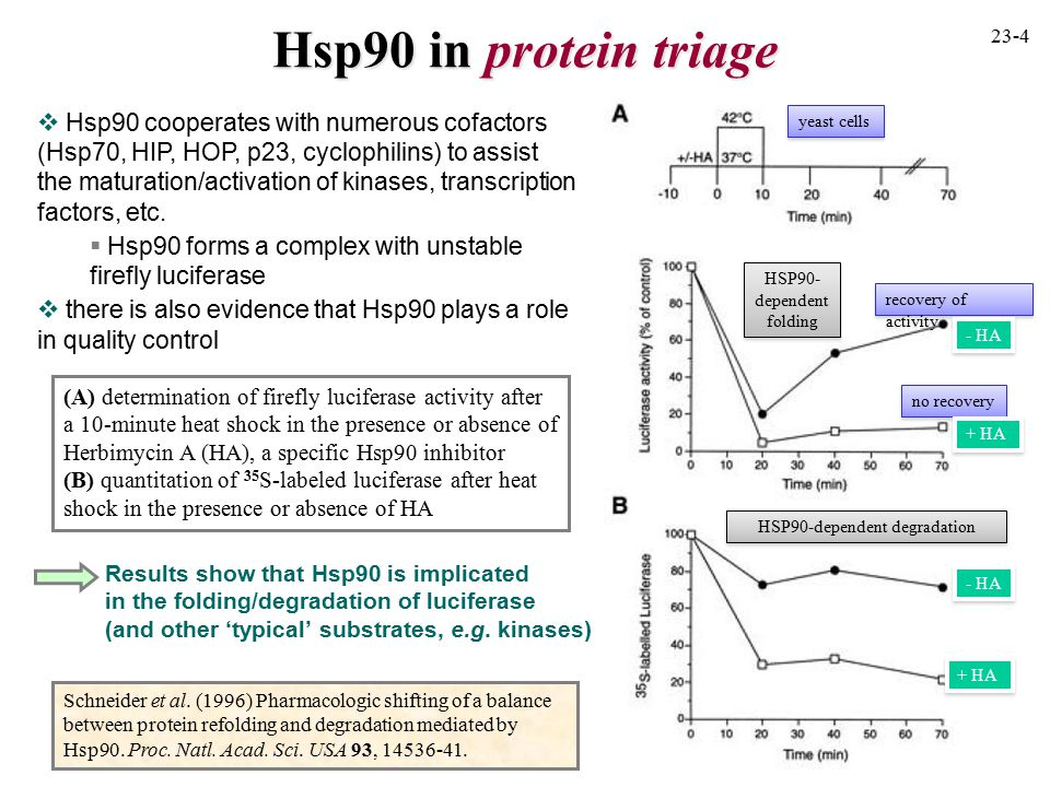 Hsp90 in protein triage  Hsp90 cooperates with numerous cofactors (Hsp70, HIP, HOP, p23, cyclophilins) to assist the maturation/activation of kinases, transcription factors, etc.