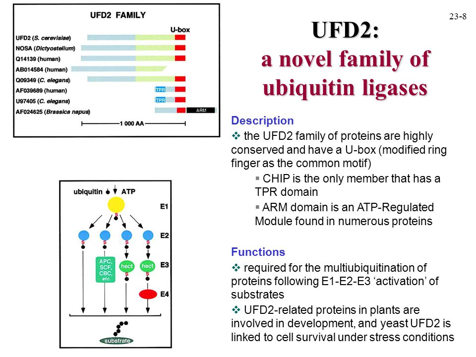 UFD2: a novel family of ubiquitin ligases Description  the UFD2 family of proteins are highly conserved and have a U-box (modified ring finger as the common motif)  CHIP is the only member that has a TPR domain  ARM domain is an ATP-Regulated Module found in numerous proteins Functions  required for the multiubiquitination of proteins following E1-E2-E3 'activation' of substrates  UFD2-related proteins in plants are involved in development, and yeast UFD2 is linked to cell survival under stress conditions 23-8