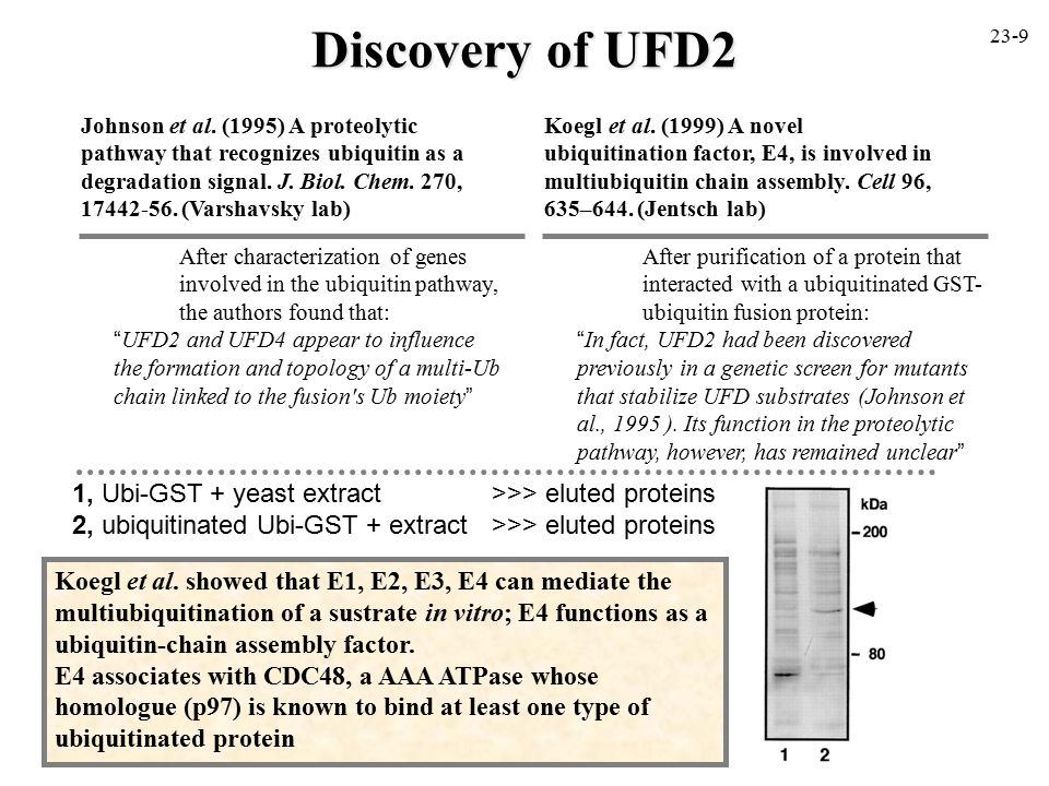 """Discovery of UFD2 After characterization of genes involved in the ubiquitin pathway, the authors found that: """"UFD2 and UFD4 appear to influence the fo"""