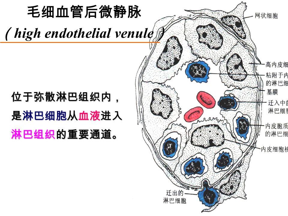 位于弥散淋巴组织内, 是淋巴细胞从血液进入 淋巴组织的重要通道。 毛细血管后微静脉 ( high endothelial venule )
