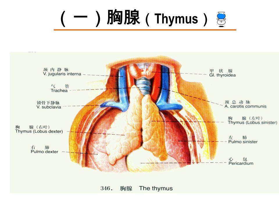 (一)胸腺 ( Thymus )