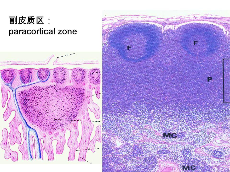 副皮质区: paracortical zone