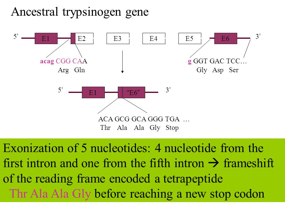 E1 E2E3E4E5 5'5' 3'3' E6 acag CGG CAA g GGT GAC TCC … Arg Gln Exonization of 5 nucleotides: 4 nucleotide from the first intron and one from the fifth intron  frameshift of the reading frame encoded a tetrapeptide Thr Ala Ala Gly before reaching a new stop codon Gly Asp Ser Ancestral trypsinogen gene E1 E6 ACA GCG GCA GGG TGA … Thr Ala Ala Gly Stop 5'5' 3'3'