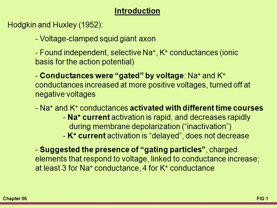 Chapter 06FIG 1 Introduction Hodgkin and Huxley (1952): - Voltage-clamped squid giant axon - Found independent, selective Na +, K + conductances (ioni