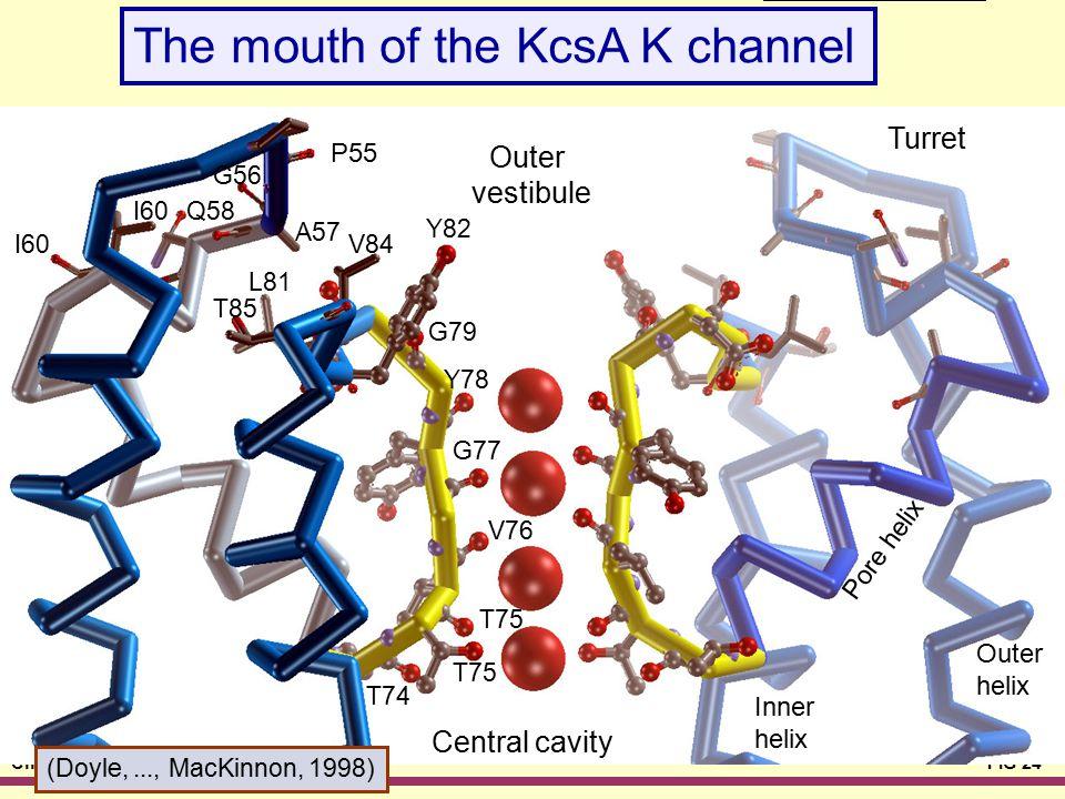 Chapter 06FIG 24 KcsA Mouth Outer vestibule P55 A57 V84 G79 Y78 G77 V76 T75 T74 I60 T85 Q58 G56 L81 Y82 Turret Central cavity Inner helix Pore helix O