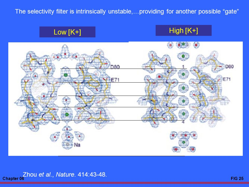 """Chapter 06FIG 25 Low [K+] High [K+] The selectivity filter is intrinsically unstable,…providing for another possible """"gate"""" Zhou et al., Nature. 414:4"""