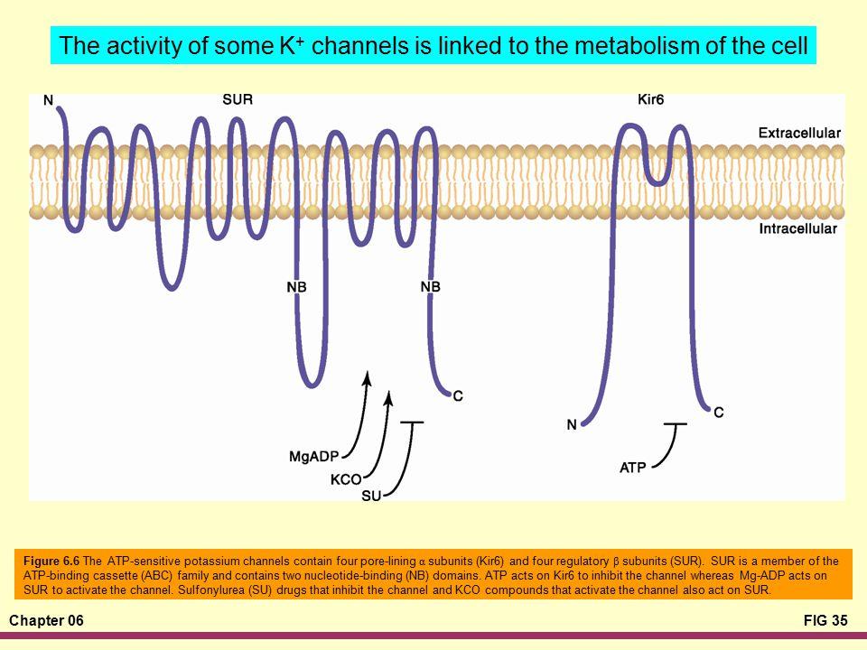 Chapter 06FIG 35 Figure 6.6 The ATP-sensitive potassium channels contain four pore-lining α subunits (Kir6) and four regulatory β subunits (SUR). SUR
