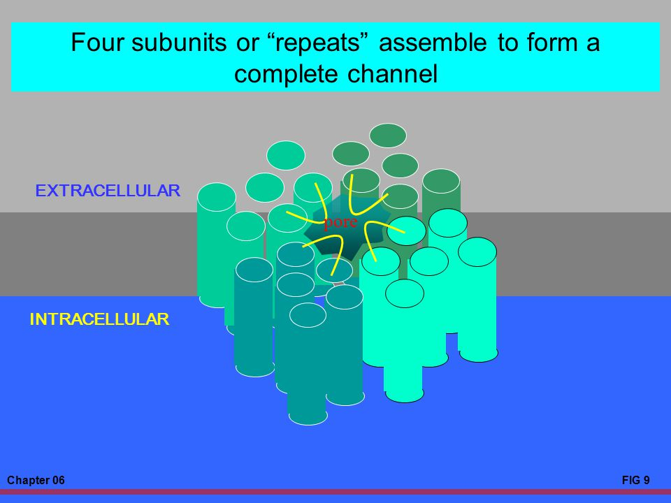 """Chapter 06FIG 9 EXTRACELLULAR INTRACELLULAR Four subunits or """"repeats"""" assemble to form a complete channel pore"""