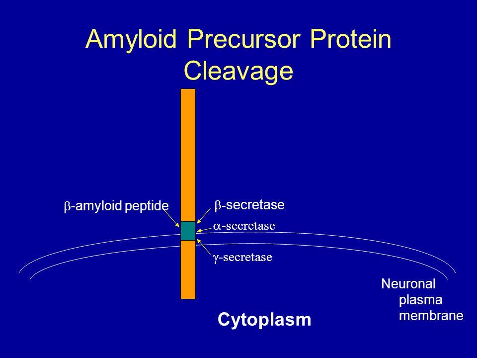 Amyloid Precursor Protein Cleavage Cytoplasm  -amyloid peptide  - secretase  -secretase  -secretase Neuronal plasma membrane