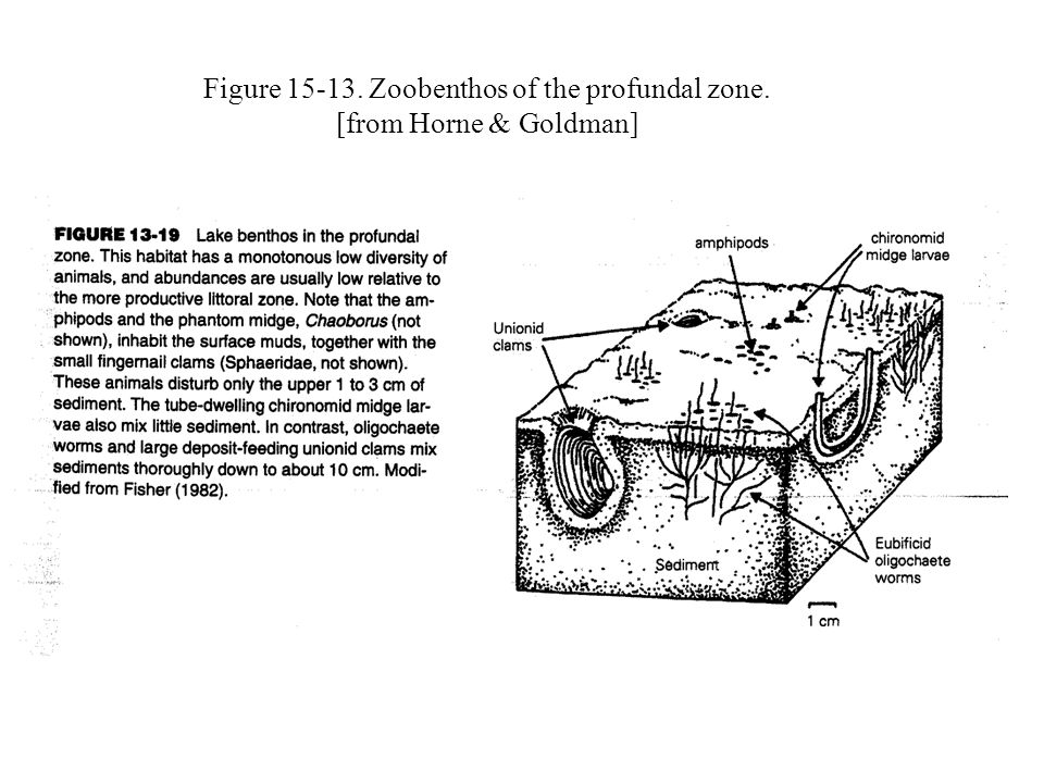 Figure 15-13. Zoobenthos of the profundal zone. [from Horne & Goldman]