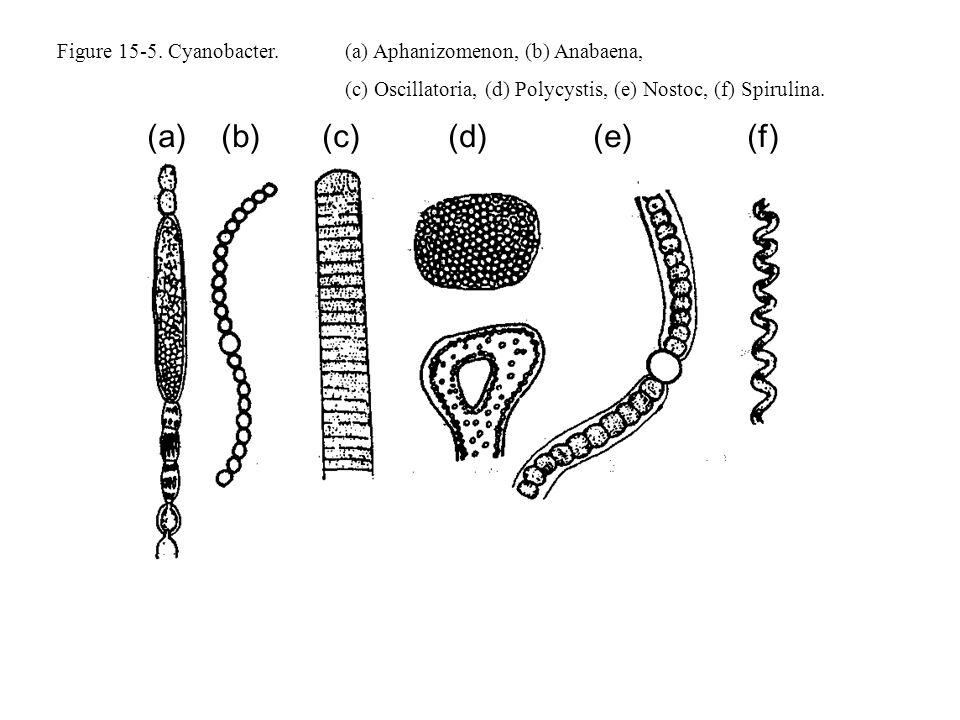 Figure 15-5. Cyanobacter.