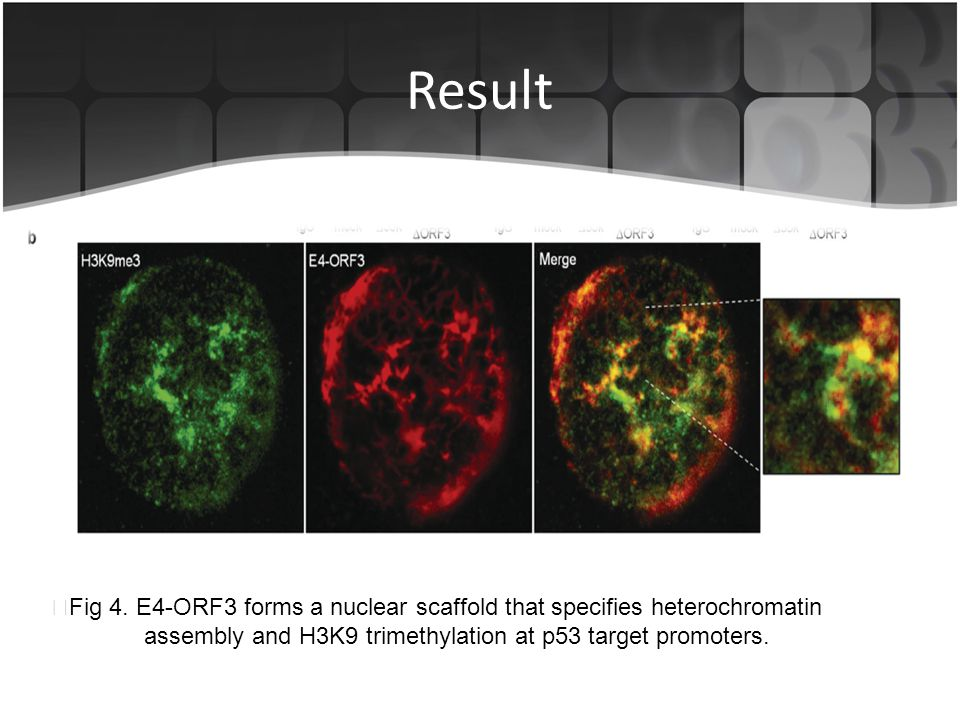 Result ▶ Fig 4. E4-ORF3 forms a nuclear scaffold that specifies heterochromatin assembly and H3K9 trimethylation at p53 target promoters.