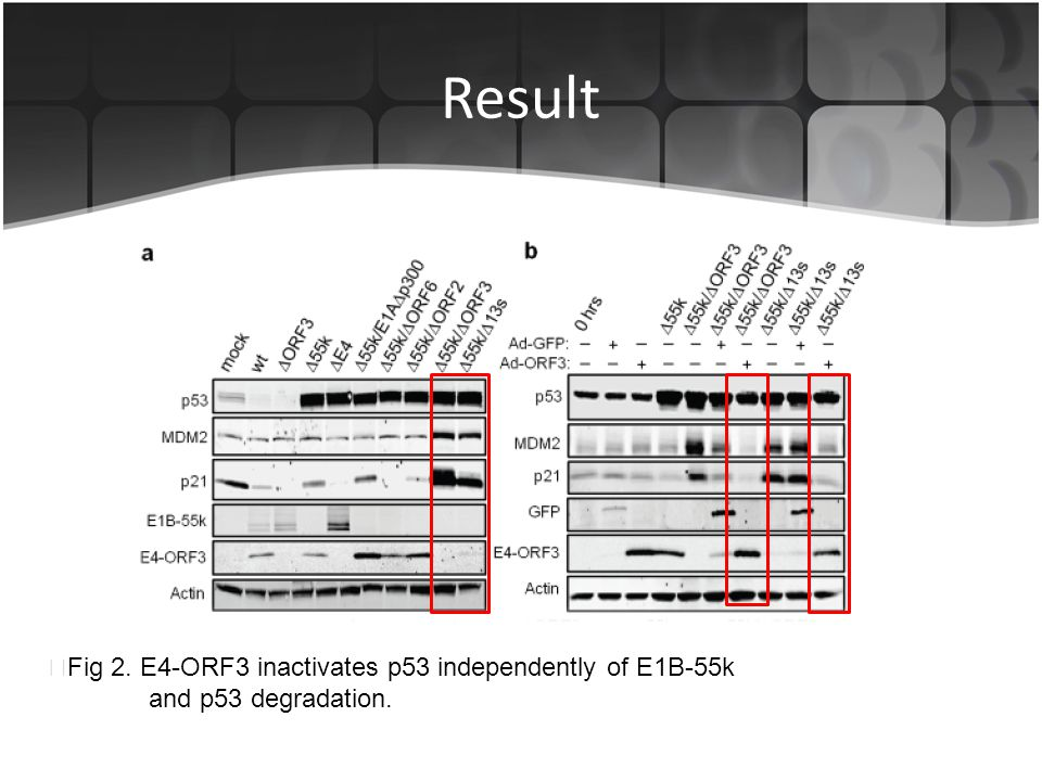 Result ▶ Fig 2. E4-ORF3 inactivates p53 independently of E1B-55k and p53 degradation.