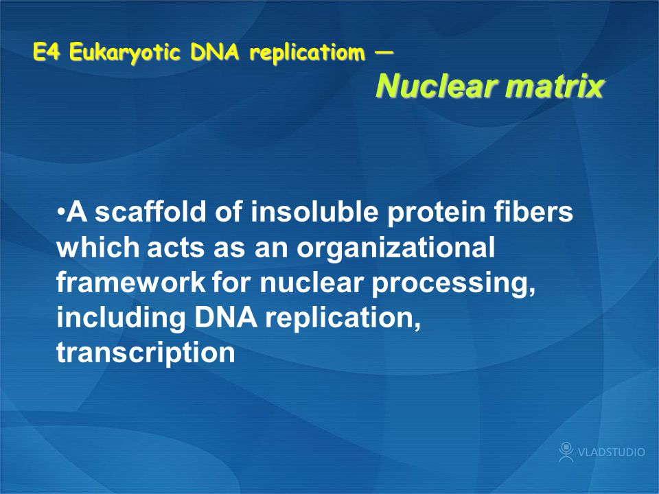 E4 Eukaryotic DNA replicatiom — Nuclear matrix A scaffold of insoluble protein fibers which acts as an organizational framework for nuclear processing