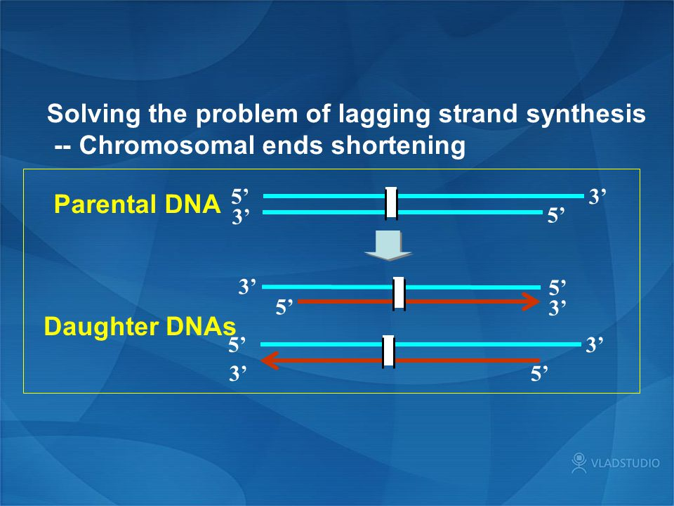 Solving the problem of lagging strand synthesis -- Chromosomal ends shortening 5' 3' 5'3' 5' 3' 5' 3' 5' 3' Parental DNA Daughter DNAs