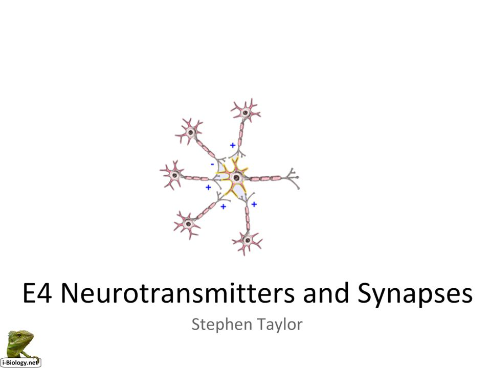 http://outreach.mcb.harvard.edu/animations/synapse.swf http://thebrain.mcgill.ca/intermediaire.php