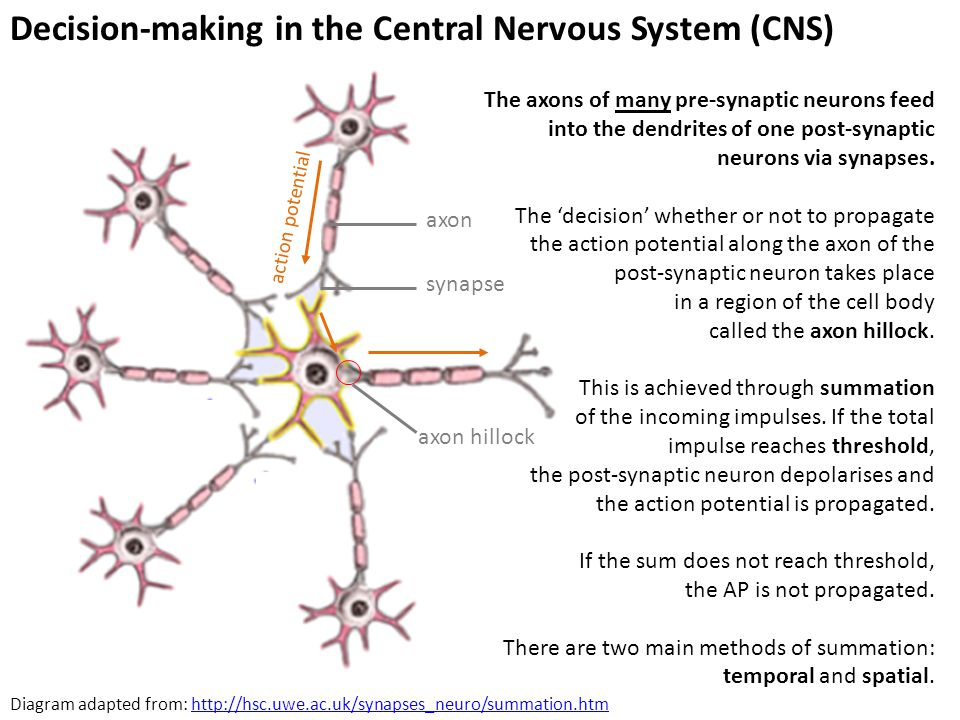 Decision-making in the Central Nervous System (CNS) axon synapse axon hillock action potential Diagram adapted from: http://hsc.uwe.ac.uk/synapses_neu