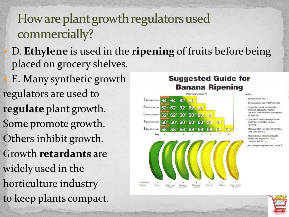 D. Ethylene is used in the ripening of fruits before being placed on grocery shelves. E. Many synthetic growth regulators are used to regulate plant g