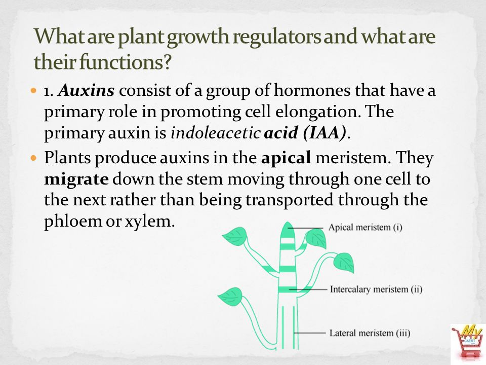 Auxins have the greatest influence on cells closest to the apical meristem.