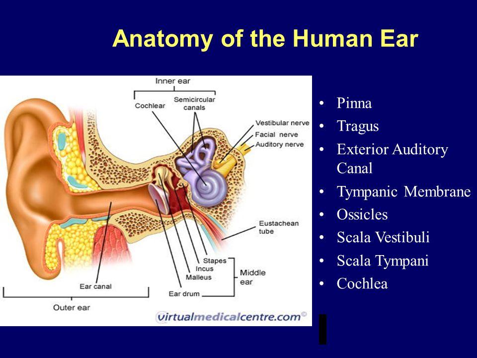 Anatomy of the Human Ear Pinna Tragus Exterior Auditory Canal Tympanic Membrane Ossicles Scala Vestibuli Scala Tympani Cochlea