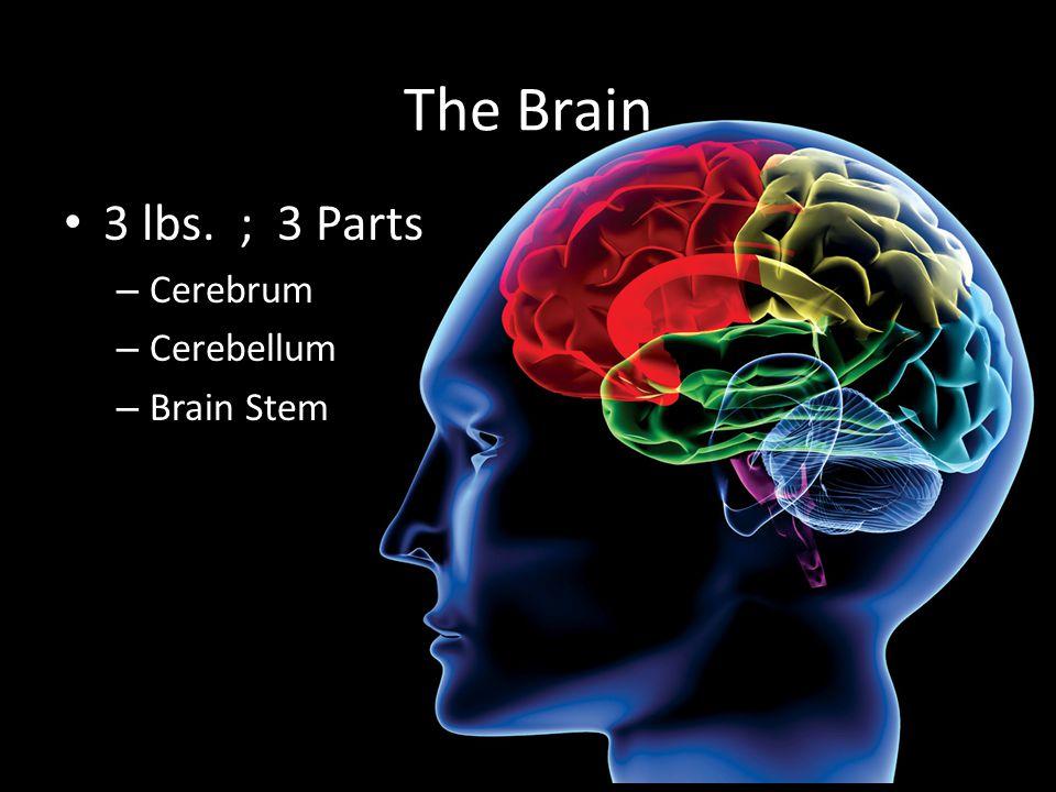 The Brain 3 lbs. ; 3 Parts – Cerebrum – Cerebellum – Brain Stem