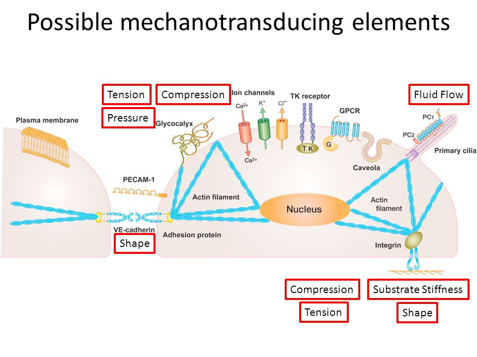 Conclusions, Perspectives Mechanical forces on stem cells includes static stiffness and active loading.