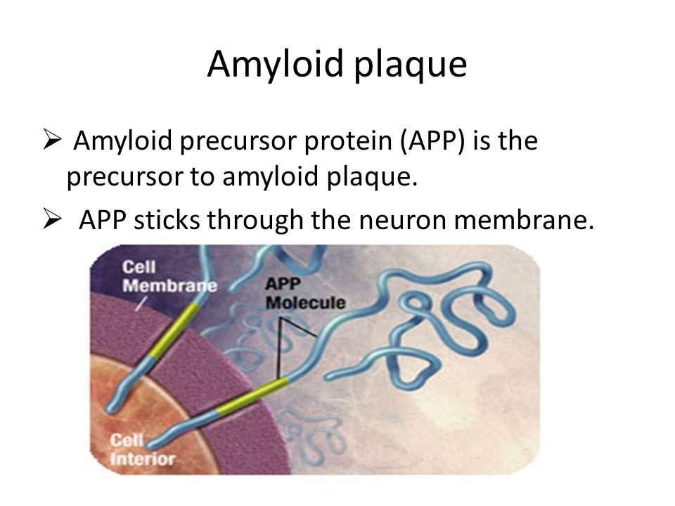 Amyloid plaque  Amyloid precursor protein (APP) is the precursor to amyloid plaque.  APP sticks through the neuron membrane.