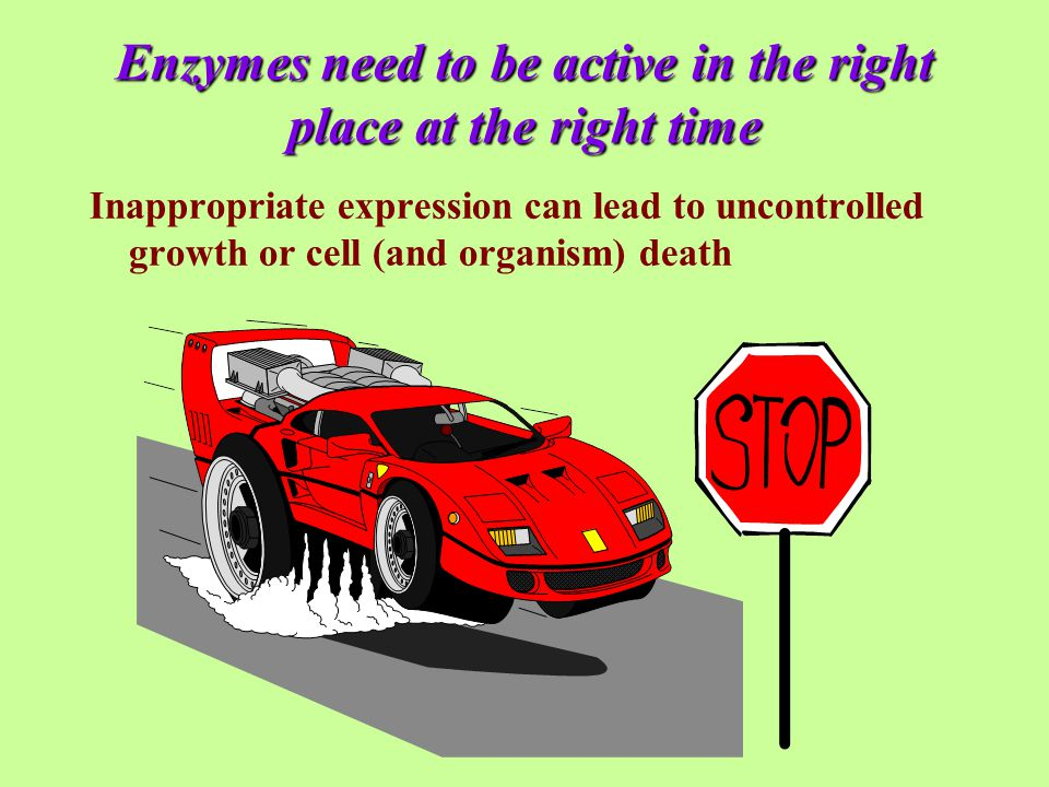 Enzymes need to be active in the right place at the right time Inappropriate expression can lead to uncontrolled growth or cell (and organism) death
