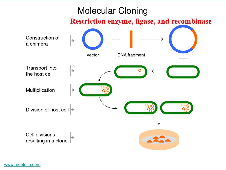 Restriction enzyme, ligase, and recombinase