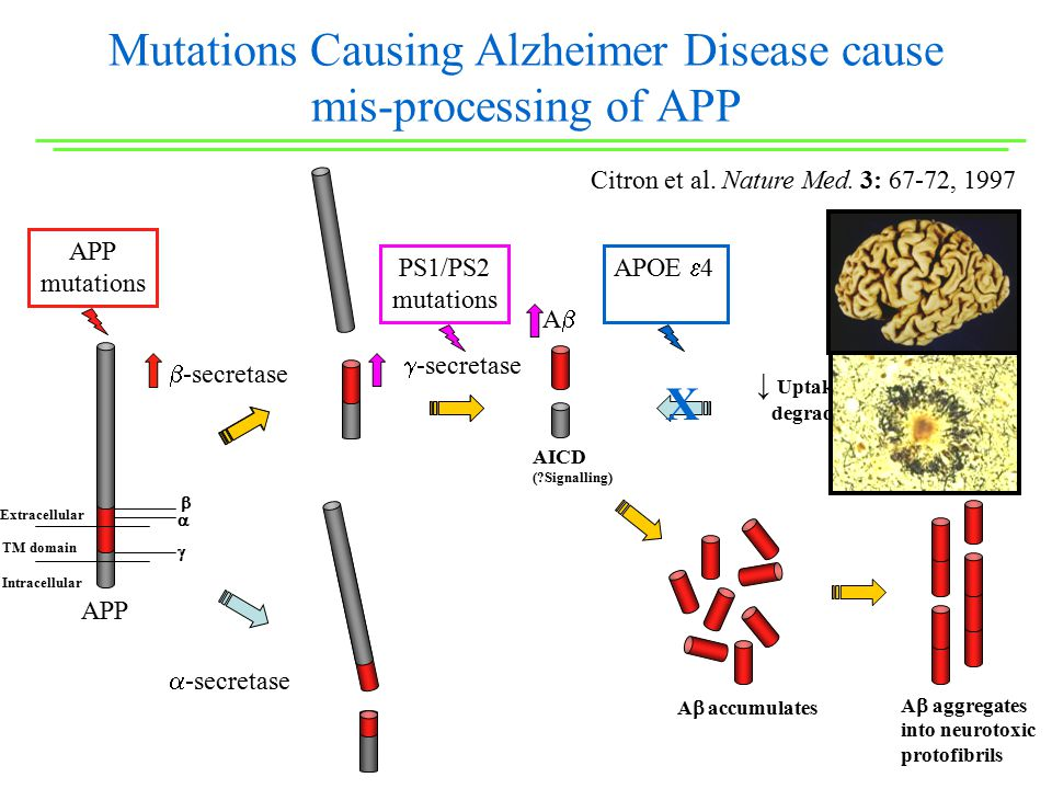 Mutations Causing Alzheimer Disease cause mis-processing of APP  -secretase  -secretase AA AICD ( Signalling) ↓ Uptake, chaperoning, & degradation of Aβ  -secretase Extracellular TM domain Intracellular APOE  4 PS1/PS2 mutations APP mutations A  aggregates into neurotoxic protofibrils A  accumulates APP X    Citron et al.