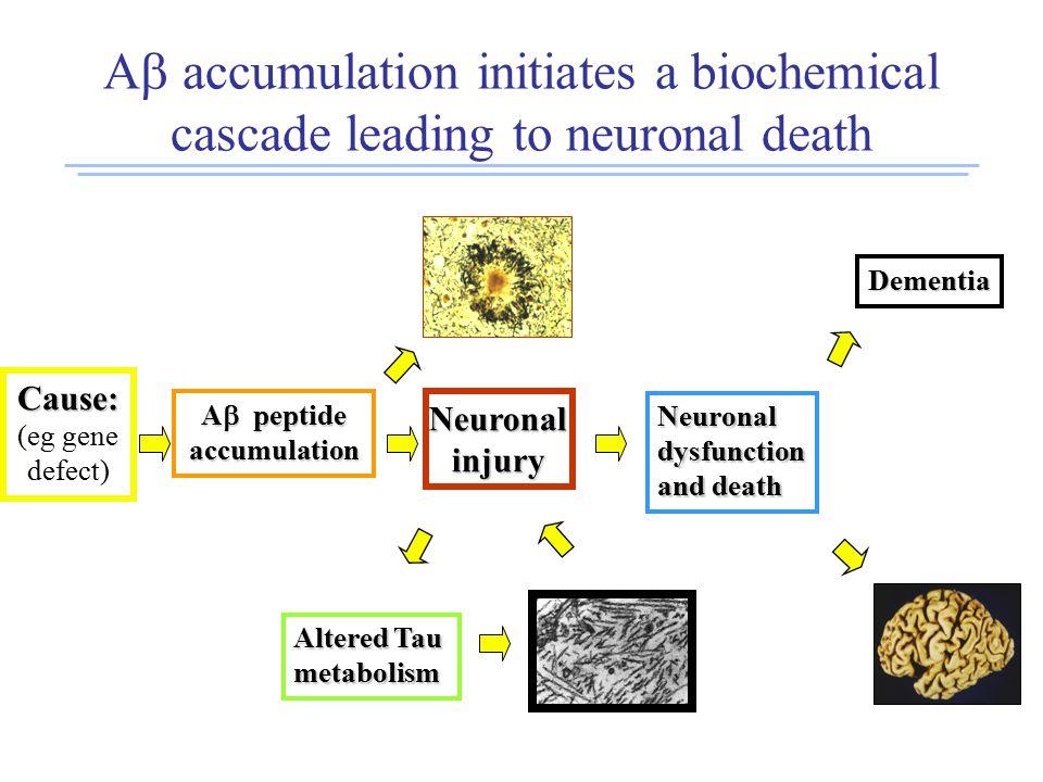 A  accumulation initiates a biochemical cascade leading to neuronal death Cause: (eg gene defect) A  peptide accumulation Neuronalinjury Altered Tau metabolism Neuronaldysfunction and death Dementia