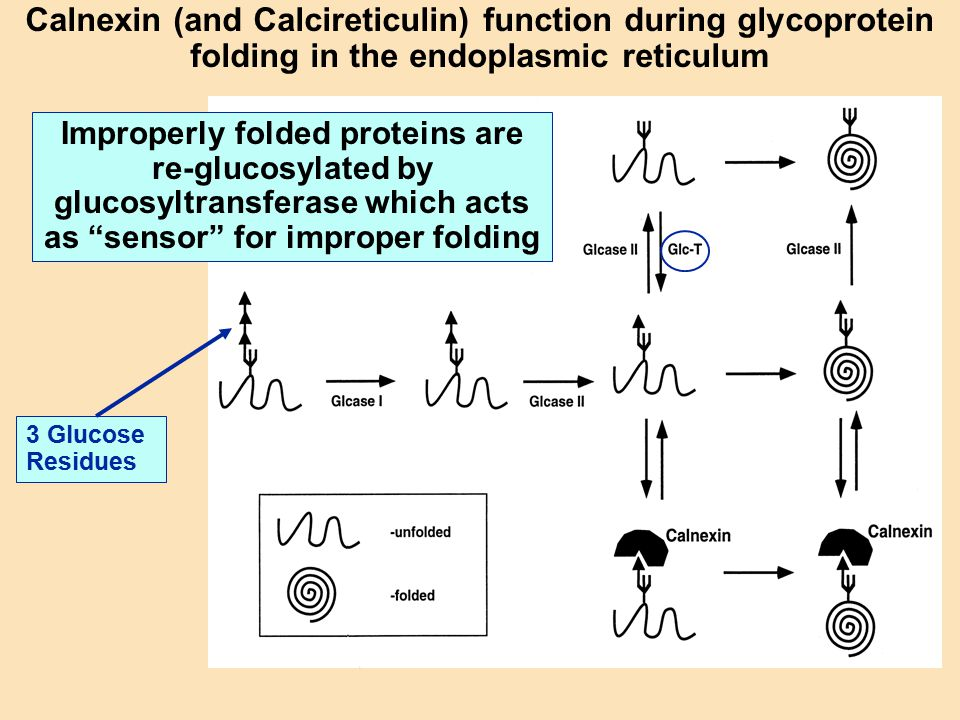 Calnexin (and Calcireticulin) function during glycoprotein folding in the endoplasmic reticulum 3 Glucose Residues Improperly folded proteins are re-g