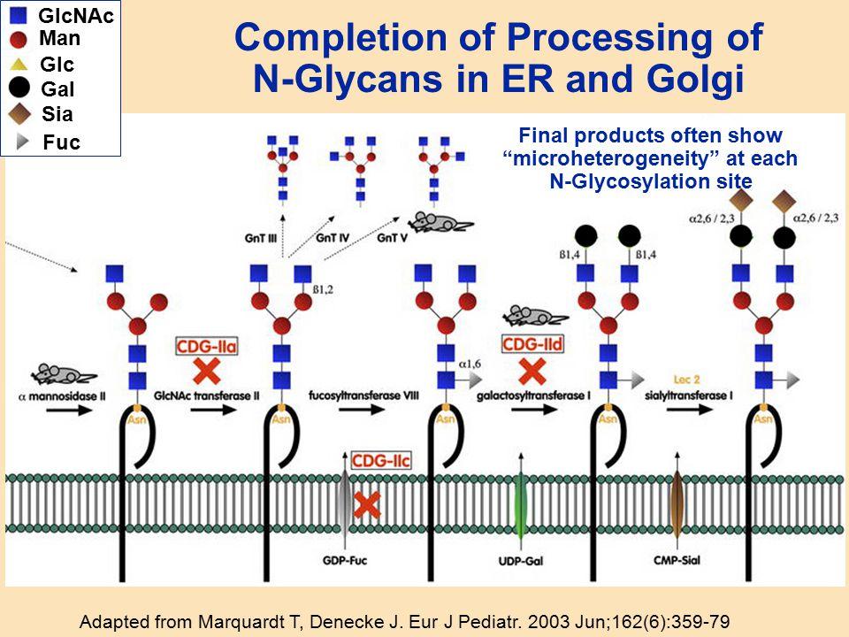 Completion of Processing of N-Glycans in ER and Golgi Adapted from Marquardt T, Denecke J. Eur J Pediatr. 2003 Jun;162(6):359-79 GlcNAc Man Gal Sia Fu