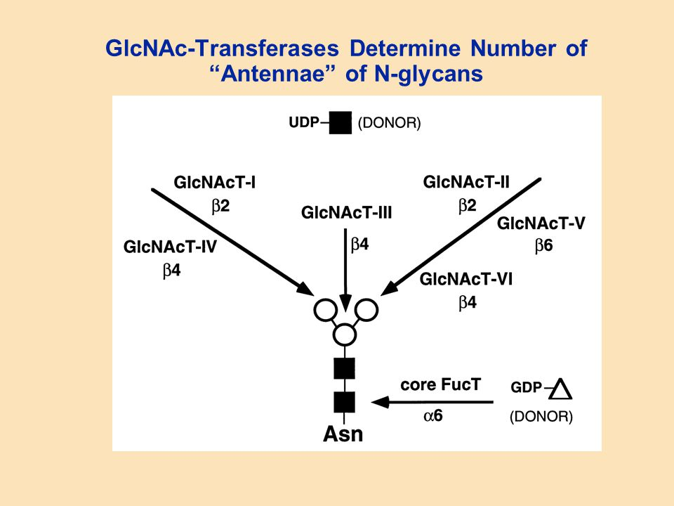 GlcNAc-Transferases Determine Number of Antennae of N-glycans
