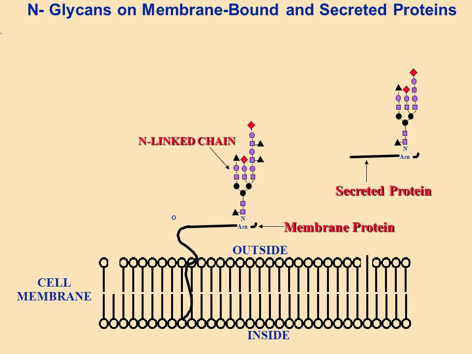 N- Glycans on Membrane-Bound and Secreted Proteins O N Asn N-LINKED CHAIN OUTSIDE INSIDE CELL MEMBRANE Membrane Protein N Asn Secreted Protein