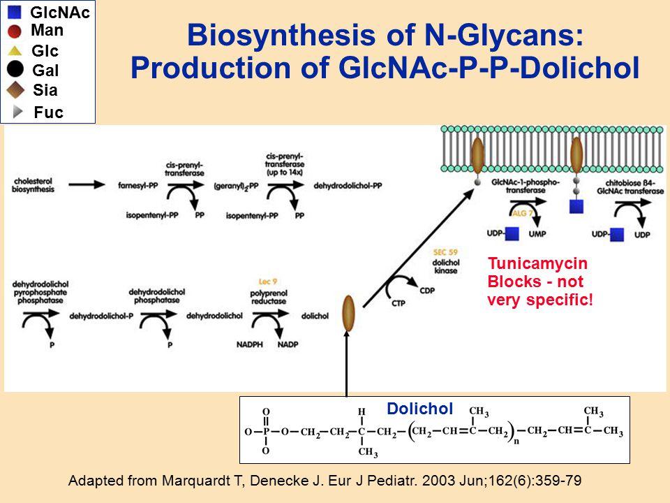 Biosynthesis of N-Glycans: Production of GlcNAc-P-P-Dolichol Adapted from Marquardt T, Denecke J. Eur J Pediatr. 2003 Jun;162(6):359-79 GlcNAc Man Gal