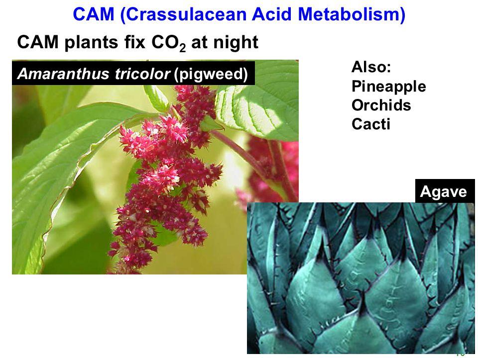 BIOL 350 Spring 10 12 CAM (Crassulacean Acid Metabolism) CAM plants fix CO 2 at night Amaranthus tricolor (pigweed) Agave Also: Pineapple Orchids Cacti