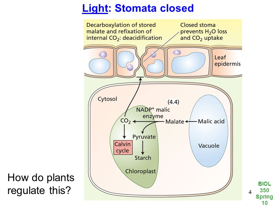 BIOL 350 Spring 10 14 Light: Stomata closed How do plants regulate this