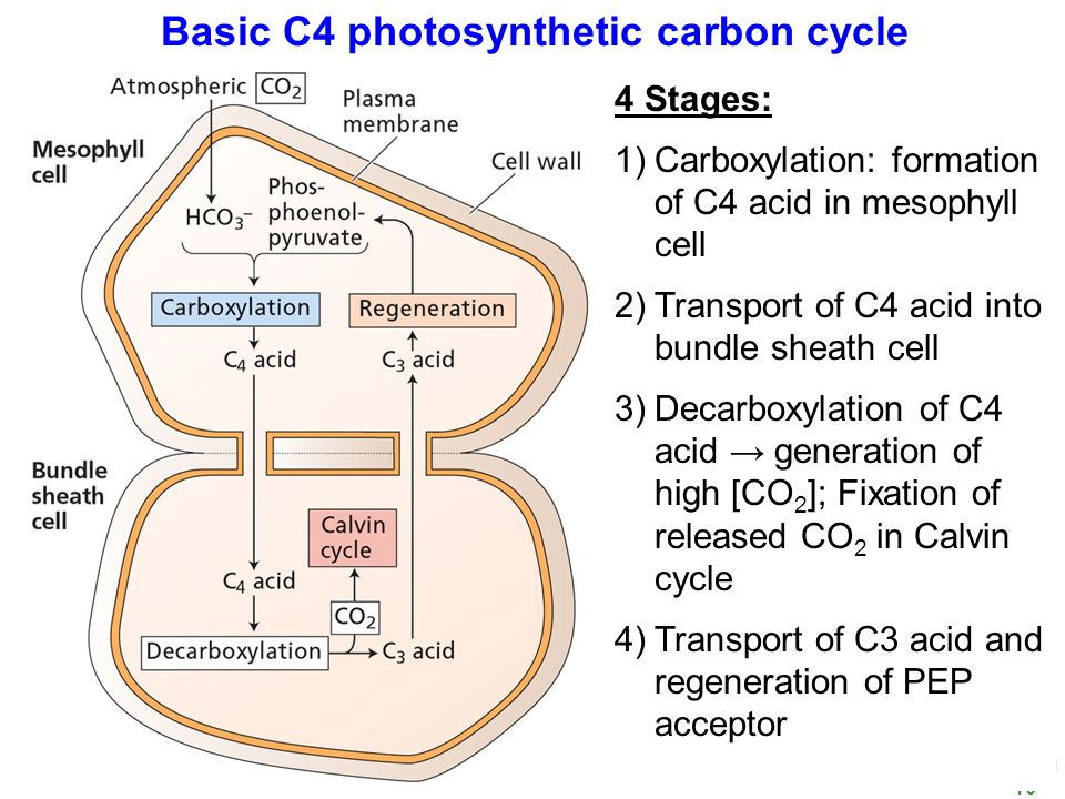BIOL 350 Spring 10 7 C4 Carbon Cycle 4 Stages: 1.