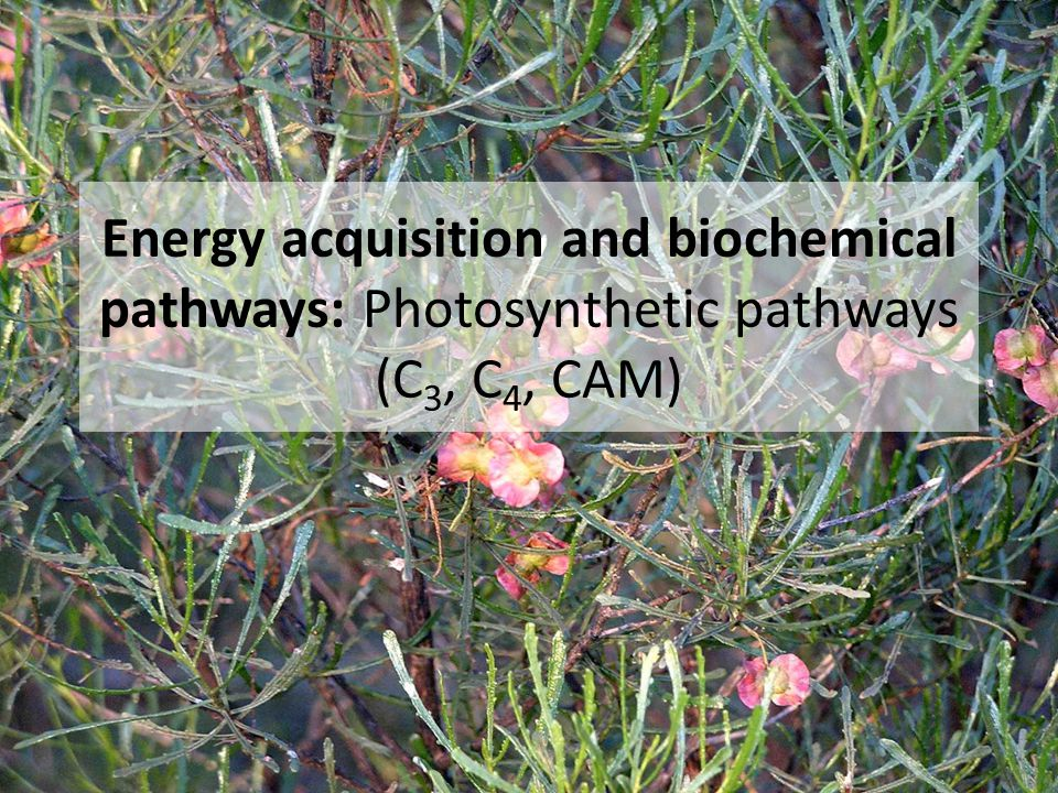 Energy acquisition and biochemical pathways: Photosynthetic pathways (C 3, C 4, CAM)