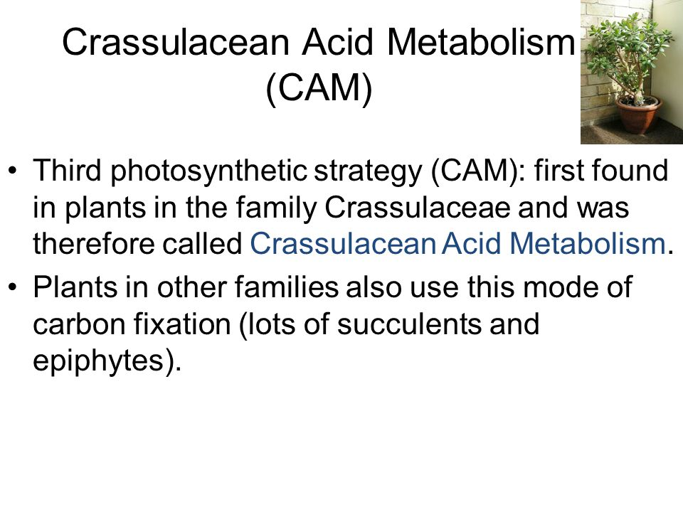 Crassulacean Acid Metabolism (CAM) Third photosynthetic strategy (CAM): first found in plants in the family Crassulaceae and was therefore called Crassulacean Acid Metabolism.