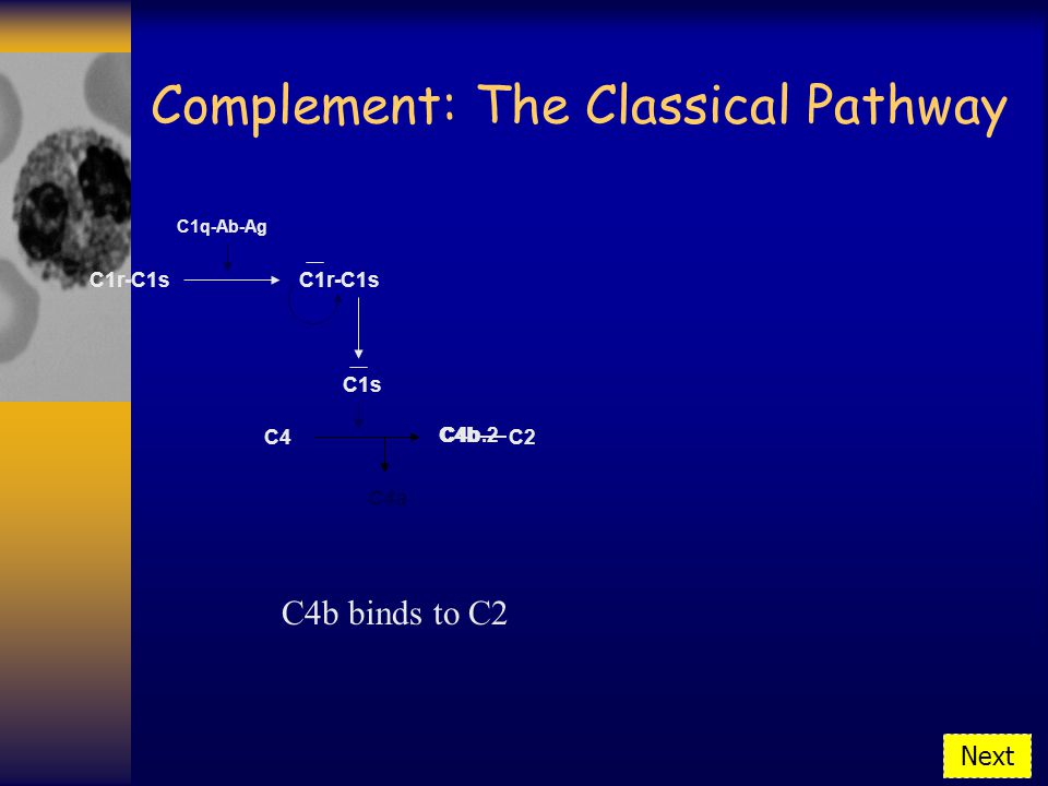 Complement: The Classical Pathway C1r-C1s C1q-Ab-Ag C1r-C1s C1s C4 C4b binds to C2 C4b C4a C2 C4b.2 Next