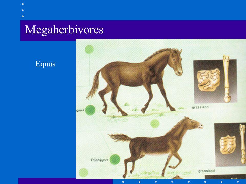 Megaherbivores Equus